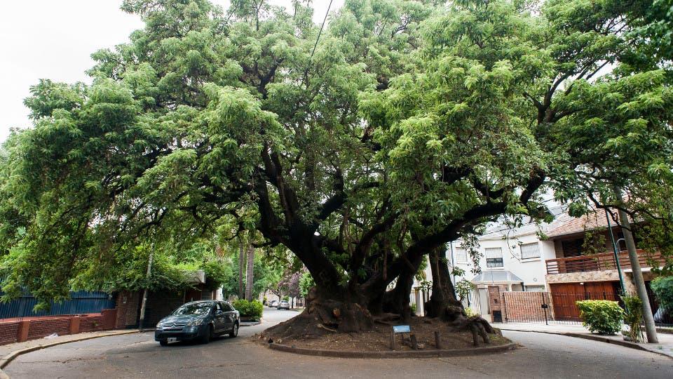 Rboles notables dieron sombra en charlas hist ricas de for Arboles perennes en argentina